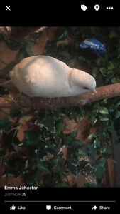 Two male Albino Affrican Ringneck Doves needing a new home.