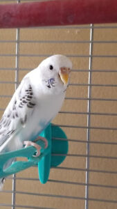 Pair of budgies with Cage