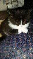 *** 2 LITTLE KITTENS LOOKING FOR THEIR NEW HOMES ***