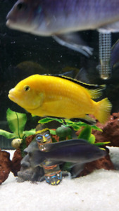 African cichlids yellow lab and zebras  .