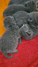 British blue shorthair kittens 7 days old