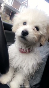 Shih tzu- Maltese puppy looking for a new home
