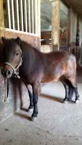 Registered Mini Mare