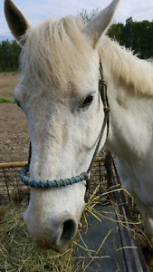 Grey Quarter Horse cross for sale