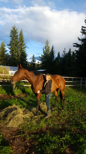Registered 7 year old TB mare 17hh