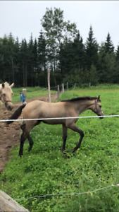 Filly for sale