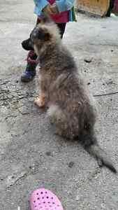 XL long hair german shepherd male pup