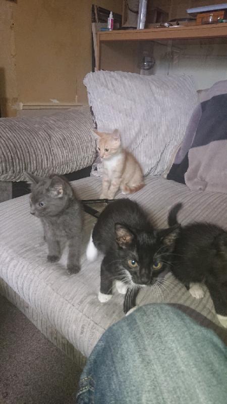 Kittens For Sale In Meadowbank Edinburgh Gumtree