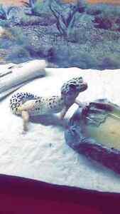 Gecko a vendre