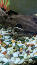 Baby Bristlenose Plecos for sale £2 each