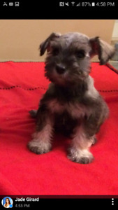 Schnauzer nain chiots (poids adulte 12 a 14 lbs)