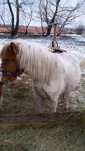 Mini -horse,