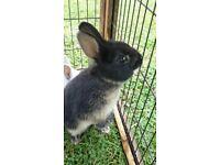 2 beautiful netherland dwarf rabbits for sale