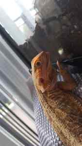 Leatherback bearded dragon Kitchener / Waterloo Kitchener Area image 2