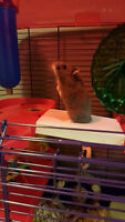 Grey Russian Hamster and 3-Level Cage