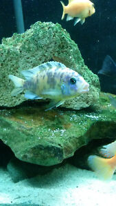 2 OB Peacocks and 2 Yellow Lab Adult African cichlids