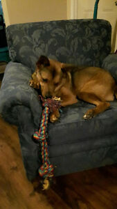 German Shepherd Collie Mix - Looking for a forever home!
