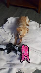 Chihuahua miniature pinscher cross