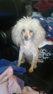 Lost Dog Cream colored Miniature Poodle