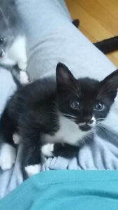 Chaton noir au yeux bleu