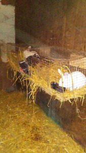Rabbits pot belly pig chickens for sale