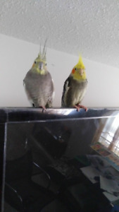 2 cockatiels- 1 male and 1 female