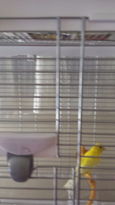 Yellow female canary 7 months old