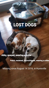 Missing Beagle Cross Dogs