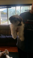 Registered Purebred Shih Tzu - Female