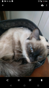 Siamese lost nice reward !!!  Missing Barton and Sherman area