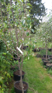 potted apple and pear trees