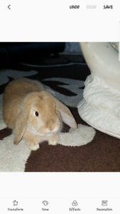FREE HOLLAND LOP BUNNY!