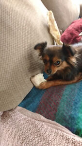 looking for very small (in adulthood) t-cup chihuahua/yorkie