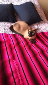 Siamese cat looking for a new home