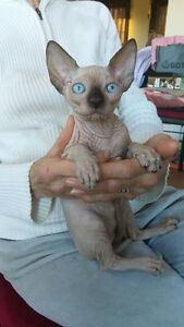 Sphynx kitten available for adoption