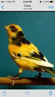Singing male Asc canaries