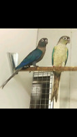 Wanted turquoise conure adult