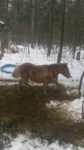 2 Ponies (female) $350 each or $500 for the pair