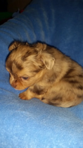 Tiny purebred Chihuahua puppies - chocolate, lavender and merles