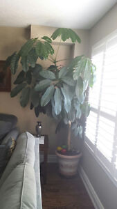 Large Tall Money Tree 88 inches
