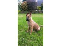 5 Months old German Shepherd Puppy for sale with dog shed