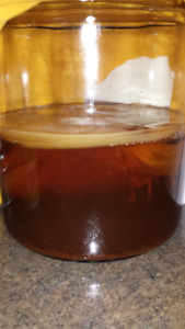 SCOBY to make your own kombucha
