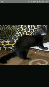 Looking for this specific colored ferret