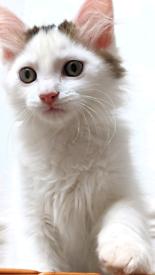 Last Ragdoll Cross (3/4) Kittens Available