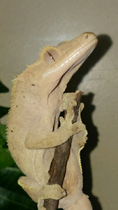 Crested gecko and enclosure