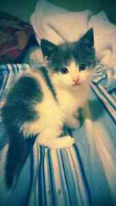 Playful Kittens for sale