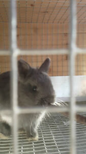 Adorable Male Netherland Dwarf Bunny for sale!