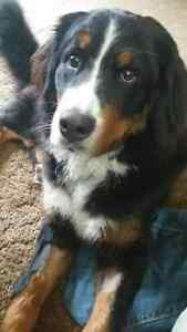Male Bernese needs new home