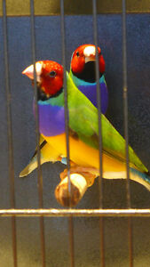 Beautiful Gouldian Finches for Sale