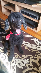 If you have adopted this older Black Mini Poodle named Terence